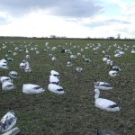 Decoy set in winter wheat on a Missouri snow goose hunt