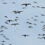 South Dakota Snow Goose Hunting