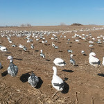 We use large snow goose decoy spreads.