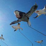 spring-snow-goose-hunt-2013-29