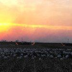 spring-snow-goose-hunt-2013-91